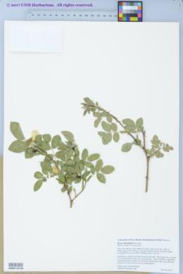 Image of Rosa obtusifolia