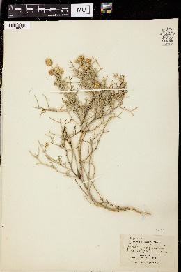 Psorothamnus fremontii var. fremontii image
