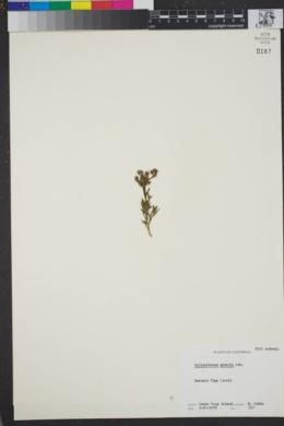 Crocanthemum greenei image