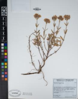 Monardella saxicola image