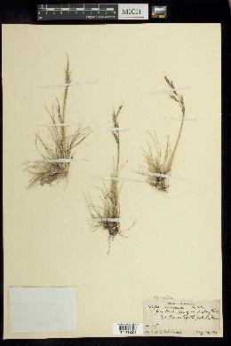 Nassella mexicana image