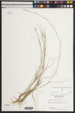 Sporobolus vaginiflorus image