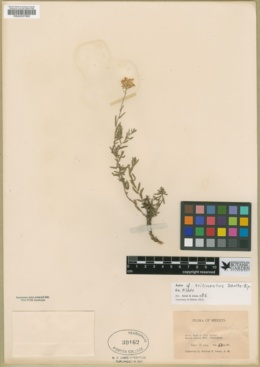 Image of Aster trilineatus
