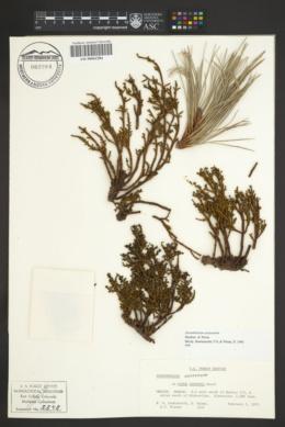Image of Arceuthobium oaxacanum
