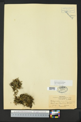 Selaginella scopulorum image