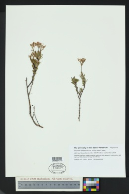 Eriogonum leptophyllum image