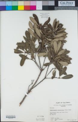 Comarostaphylis diversifolia image