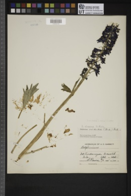 Delphinium occidentale image