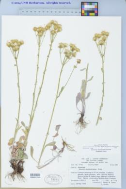 Packera neomexicana var. neomexicana image