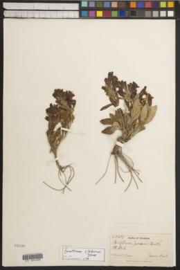 Image of Penstemon cleburnei