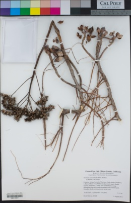Image of Aeonium haworthii