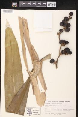Dracaena fragrans image