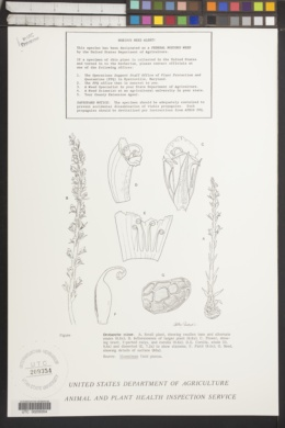 Orobanche minor image