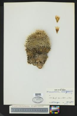 Image of Mammillaria pachycylindrica