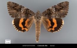 Catocala ilia image