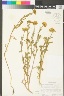 Layia chrysanthemoides image