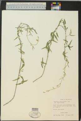 Phaseolus angustissimus image