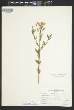 Brickellia oblongifolia var. linifolia image