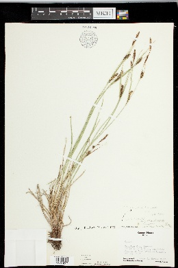 Image of Carex melanostachya