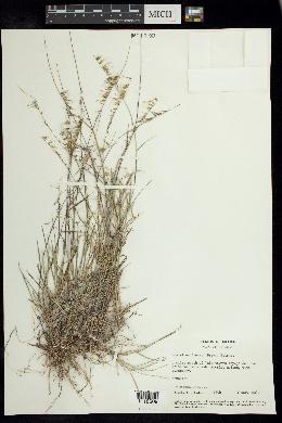 Image of Bouteloua juncea