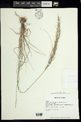 Image of Muhlenbergia pilosa