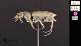 Ellipsoptera lepida image