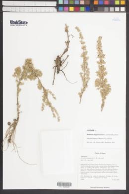 Image of Artemisia lingyeouruennii