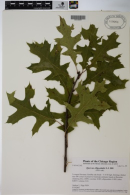 Quercus ellipsoidalis image