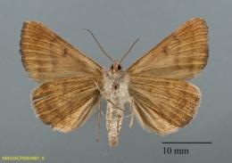 Caenurgina crassiuscula image