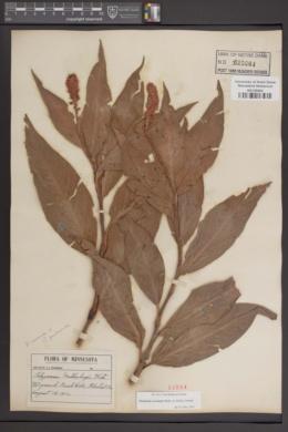Image of Polygonum muhlenbergii