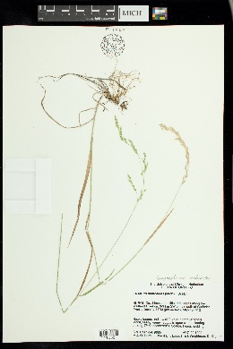 Graphephorum melicoides image