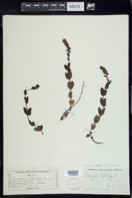 Veronica wormskjoldii image