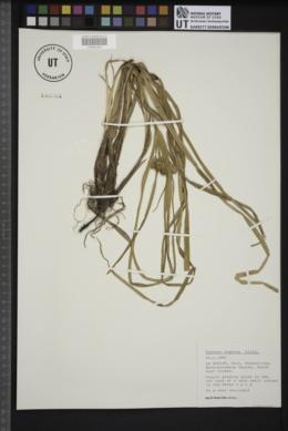 Cyperus eragrostis image