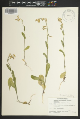 Streptanthus carinatus image