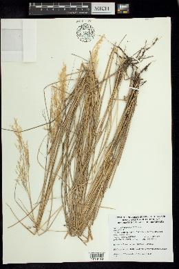 Image of Agrostis novogaliciana