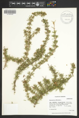 Rosmarinus officinalis image