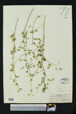 Abutilon parvulum image