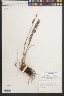 Astrolepis crassifolia image