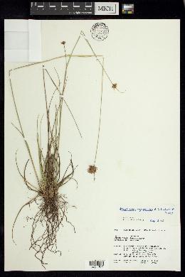 Image of Rhynchospora megaplumosa