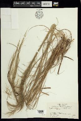 Image of Muhlenbergia breviligula