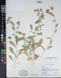 Mentzelia oreophila image