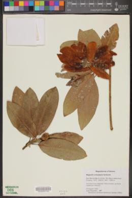Image of Magnolia tarahumara