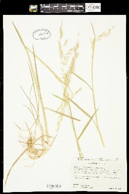 Image of Amphibromus scabrivalvis