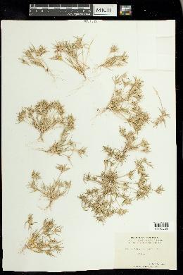 Munroa squarrosa image