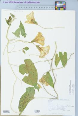 Calystegia sepium subsp. angulata image