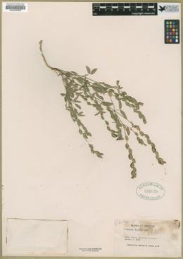 Zornia gemella image