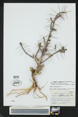 Cylindropuntia leptocaulis image