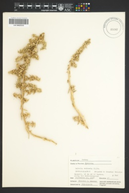 Salsola kali subsp. ruthenica image