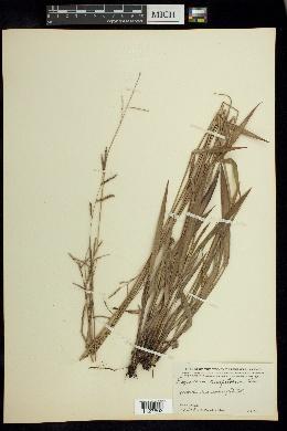 Paspalum caespitosum image