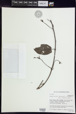 Image of Stigmaphyllon blanchetii